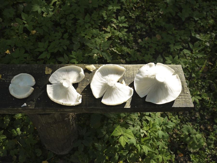 Milk Mushroom - Белый груздь - находка похода